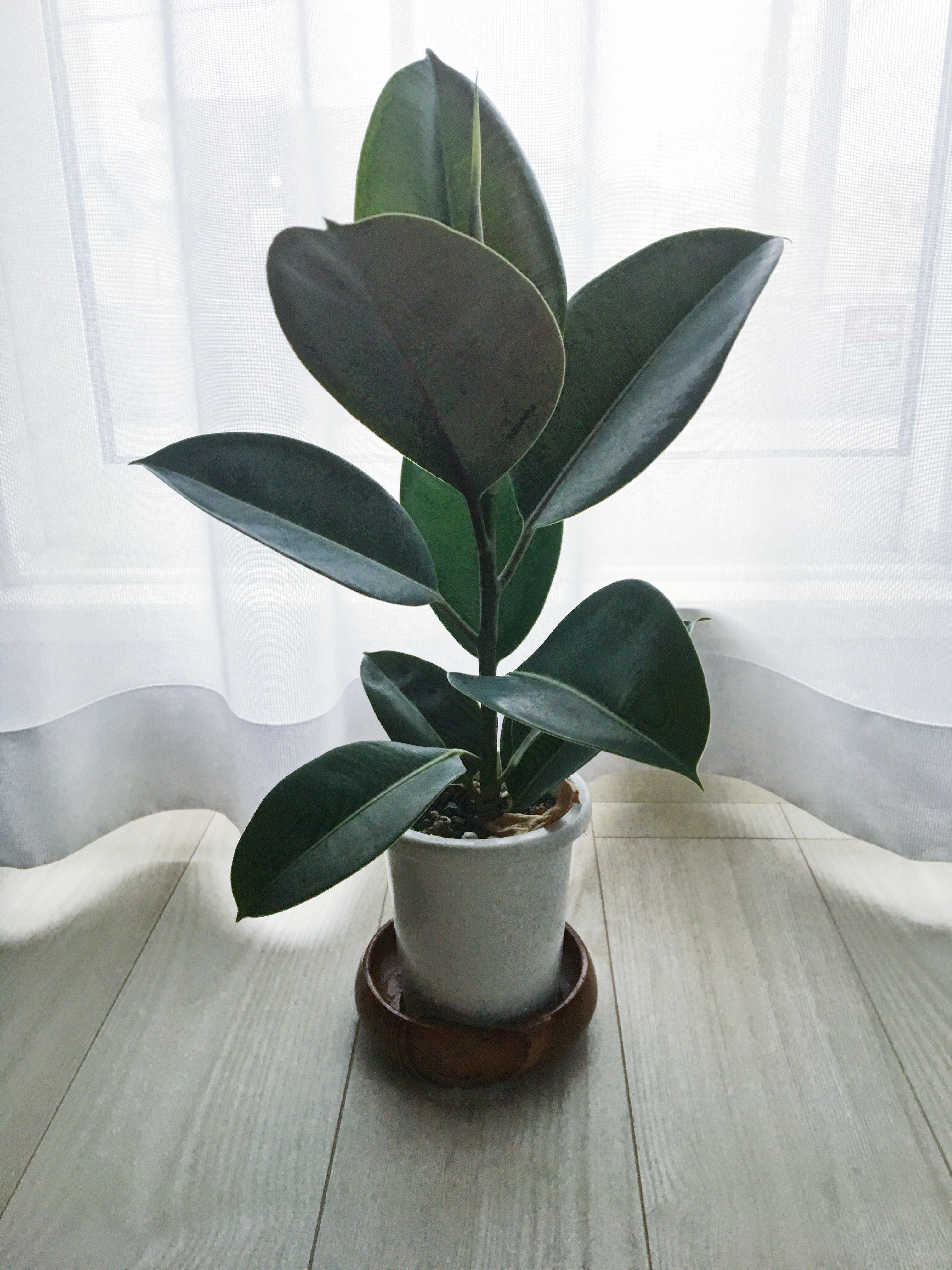 ★観葉植物★フィカス・バーガンディをお迎えしました♪