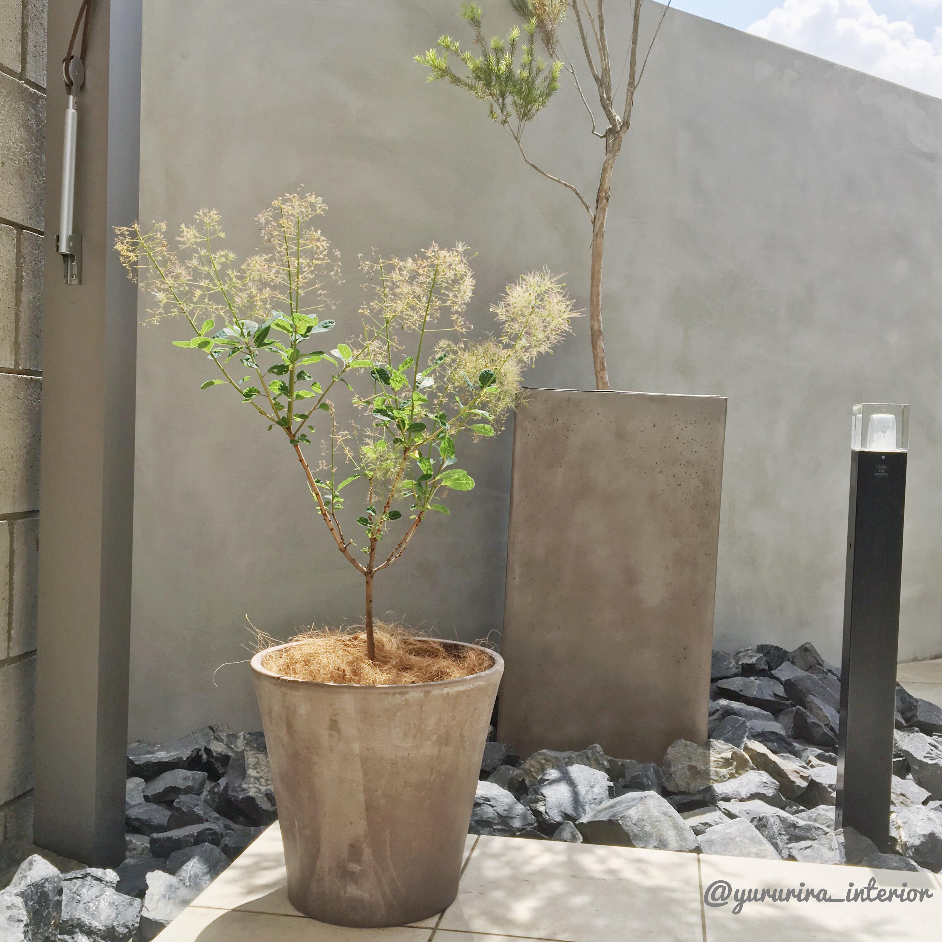 庭活★スモークツリーとイタリア製のテラコッタ鉢