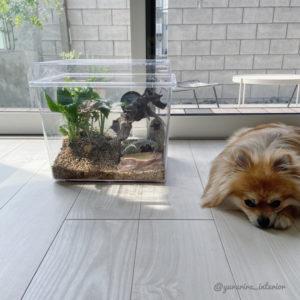 カナヘビ水槽 カナヘビ飼い方