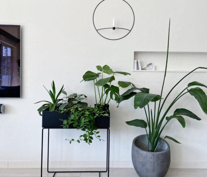 みどりのある暮らし★葉柄が美しいクテナンテ属の植物を買いました