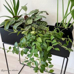 観葉植物 レア